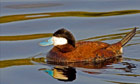 Thumbnail for Final 100 ruddy ducks in the UK facing extermination