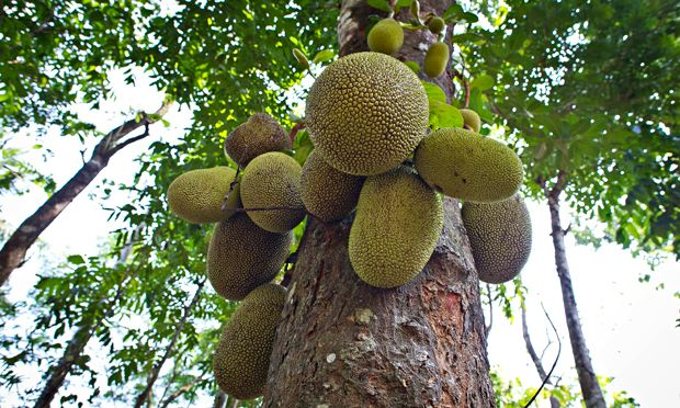 Jackfruit heralded as 'miracle' food crop