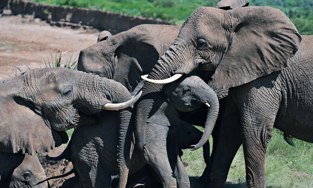 Fewer elephants killed in 2013, figures show