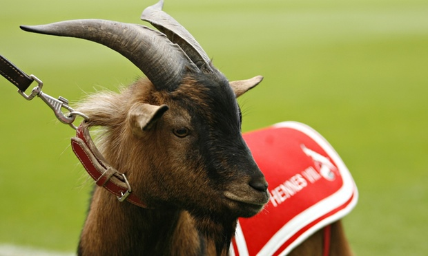 Image result for hennes the goat