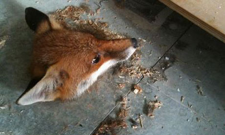 The not-so intrepid fox stuck fast in a hole was found by builders renovating an office in Hatfield. He was later freed into the wilds of Hertfordshire Photograph: RSPCA
