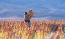 Thumbnail for Quinoa brings riches to the Andes