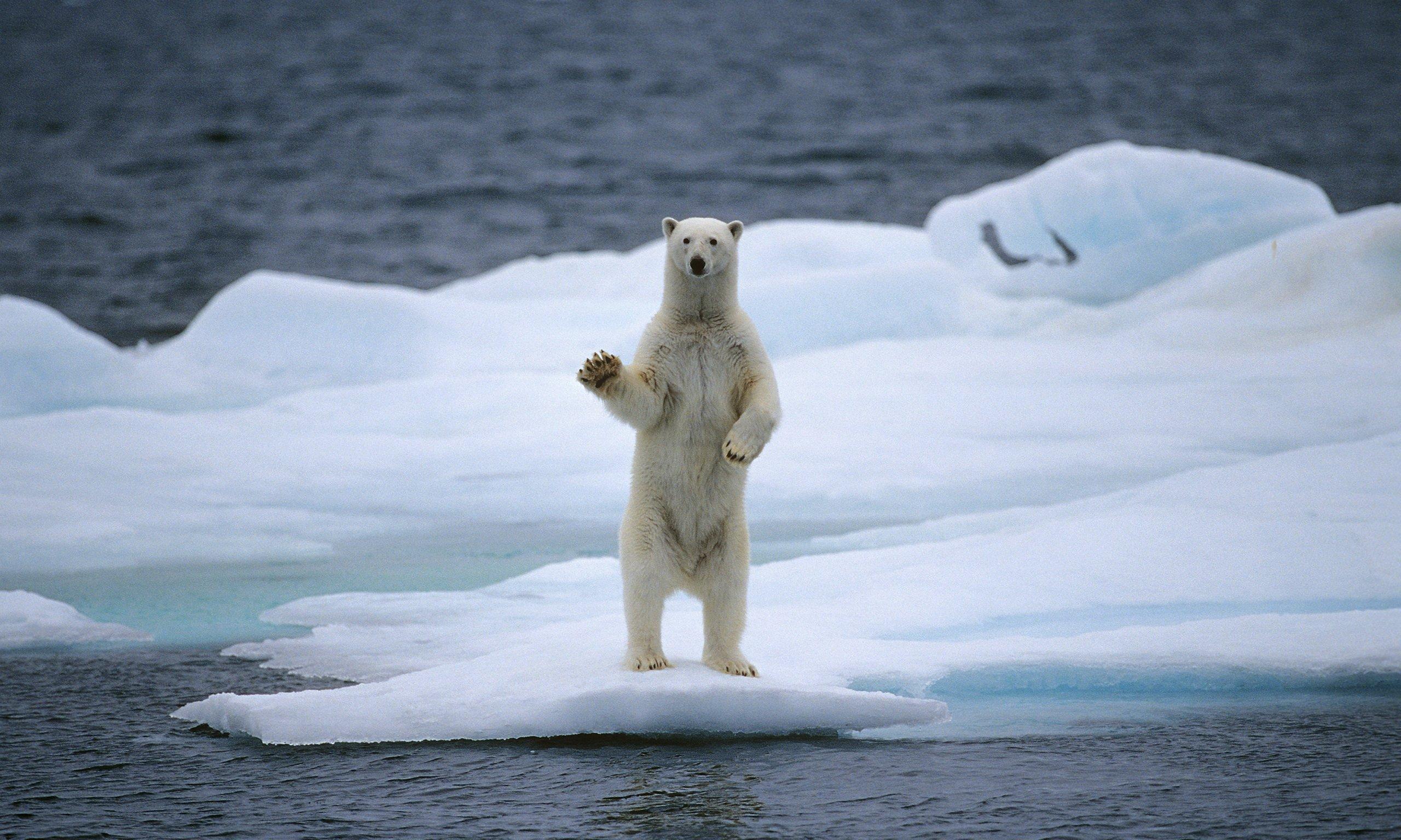 Polar Bear On Ice Related Keywords & Suggestions - Polar Bear On Ice ...