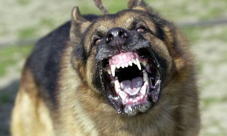 Pit Bull Baring Teeth Dog-baring-its-teeth-008.jpg