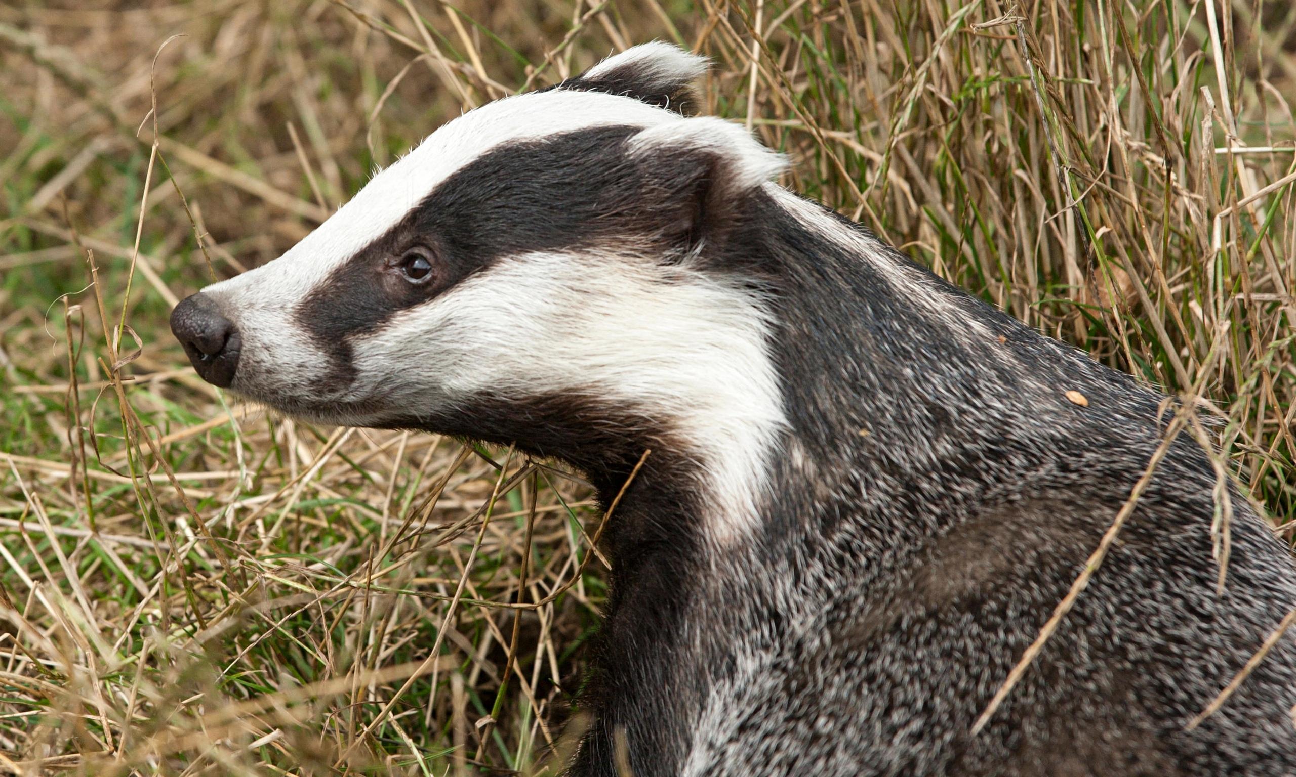 Secrets Of A Badger S Toilet Animals News Newslocker