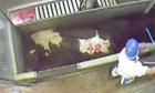 Secret filming of animal abuse in slaughterhouses