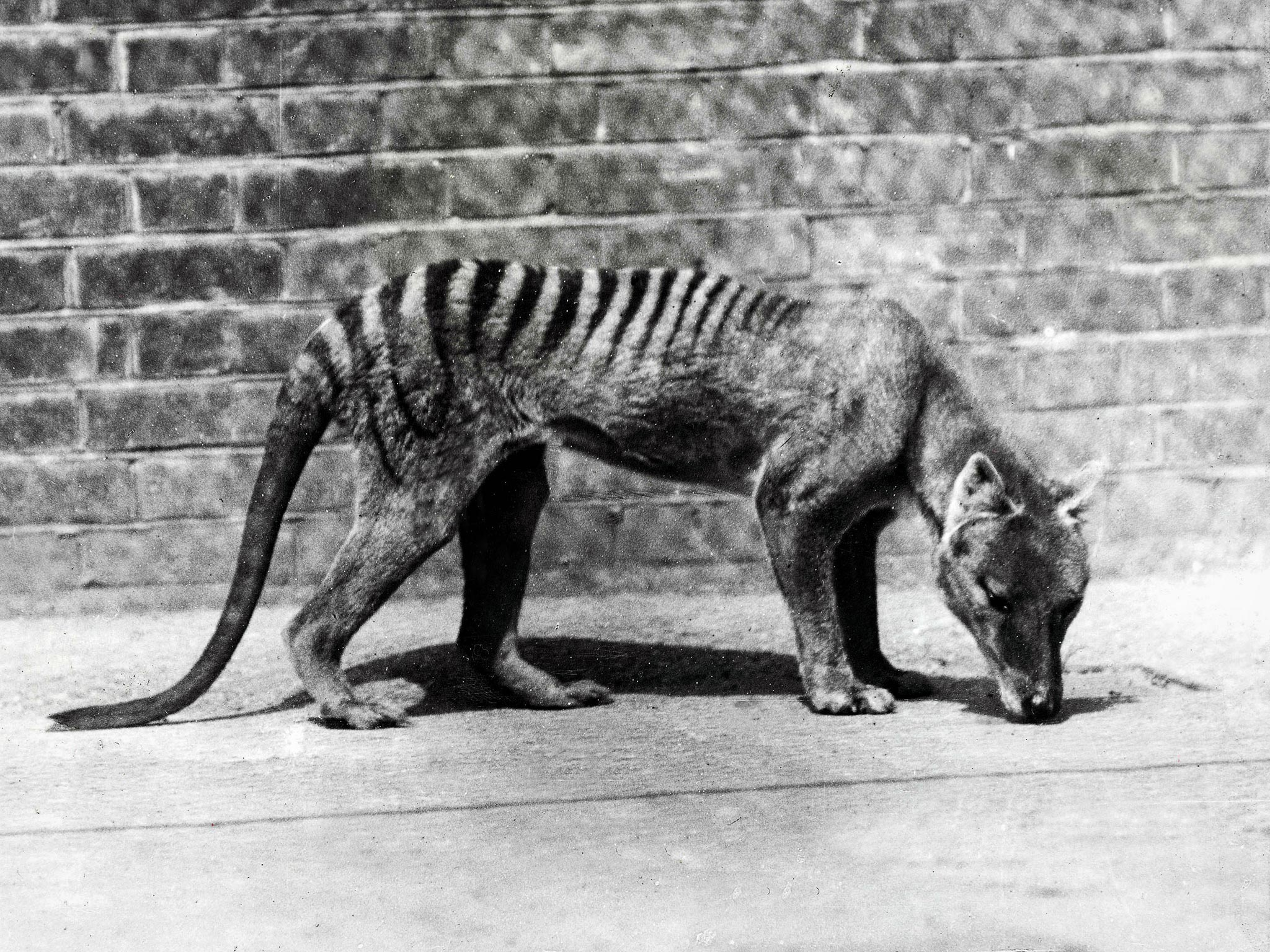 Extinct animal sightings - photo#11