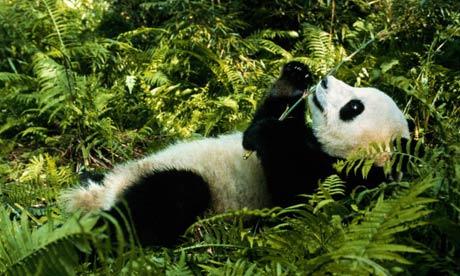 عکس هایی دیدنی از خرس پاندا