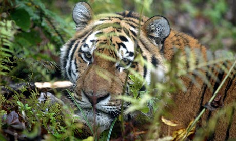 What Do Tigers Eat In Zoos?