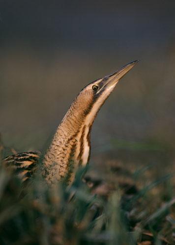 Wicken Fen: Bittern {Botaurus stellaris} stalking through marsh, Britain