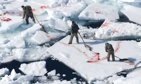 'The majority of Canadians are opposed to the annual seal slaughter.' Photograph: Stewart Cook / Rex Features