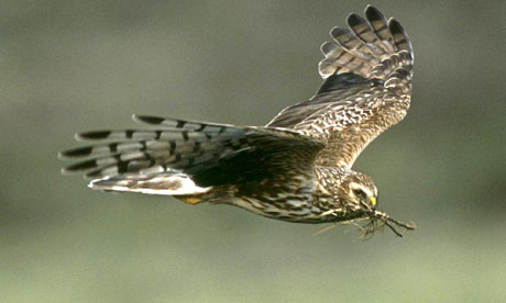 Hen harrier 006