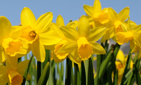 In the garden this week: Daffodil bulbs and tomatoes | Life and style ...