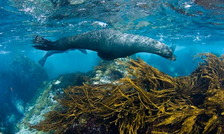 Guadalupe fur seal: feared extinct in 1890s.   Photograph: Visuals Unlimited/Corbis