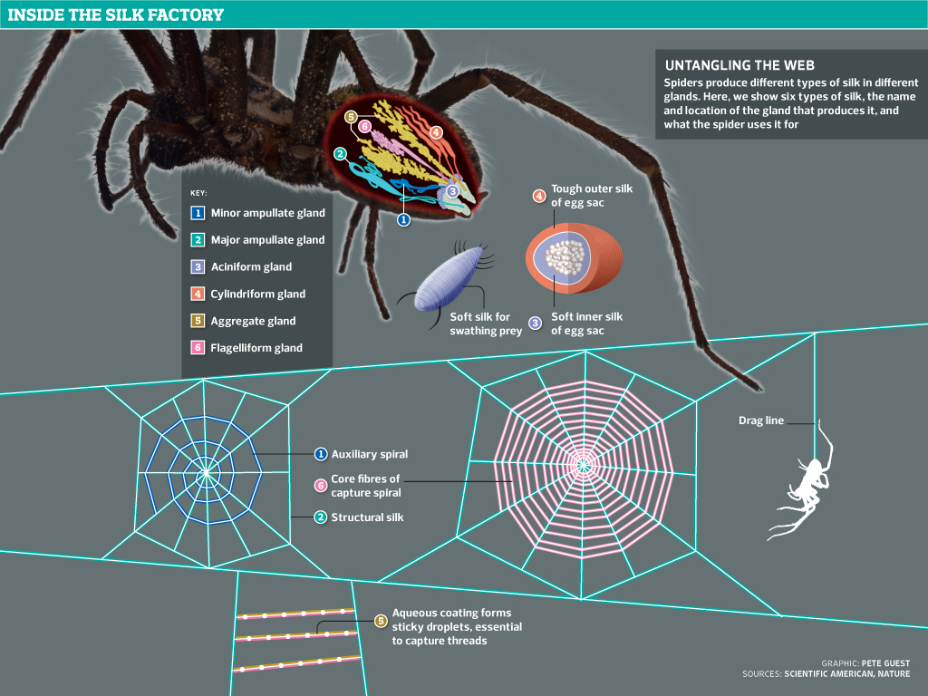 Untangling the web: how spiders use their silk - graphic