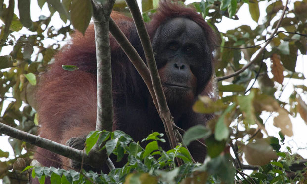 David Attenborough supports effort to save orangutan from extinction