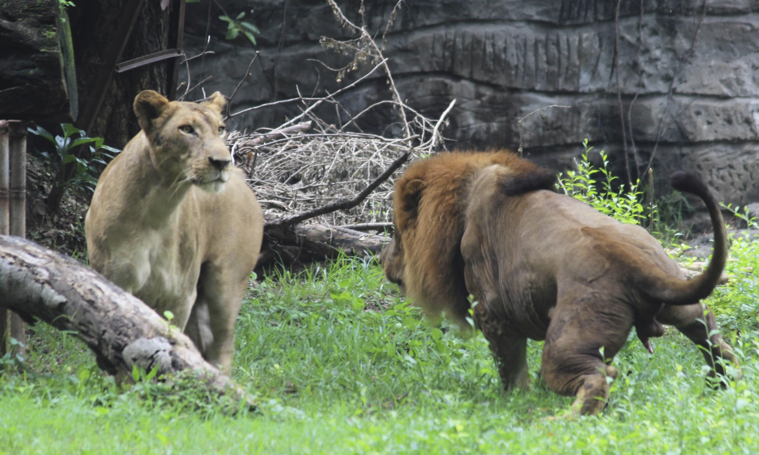 Lion found hanged in Indonesian zoo | World news | The ...
