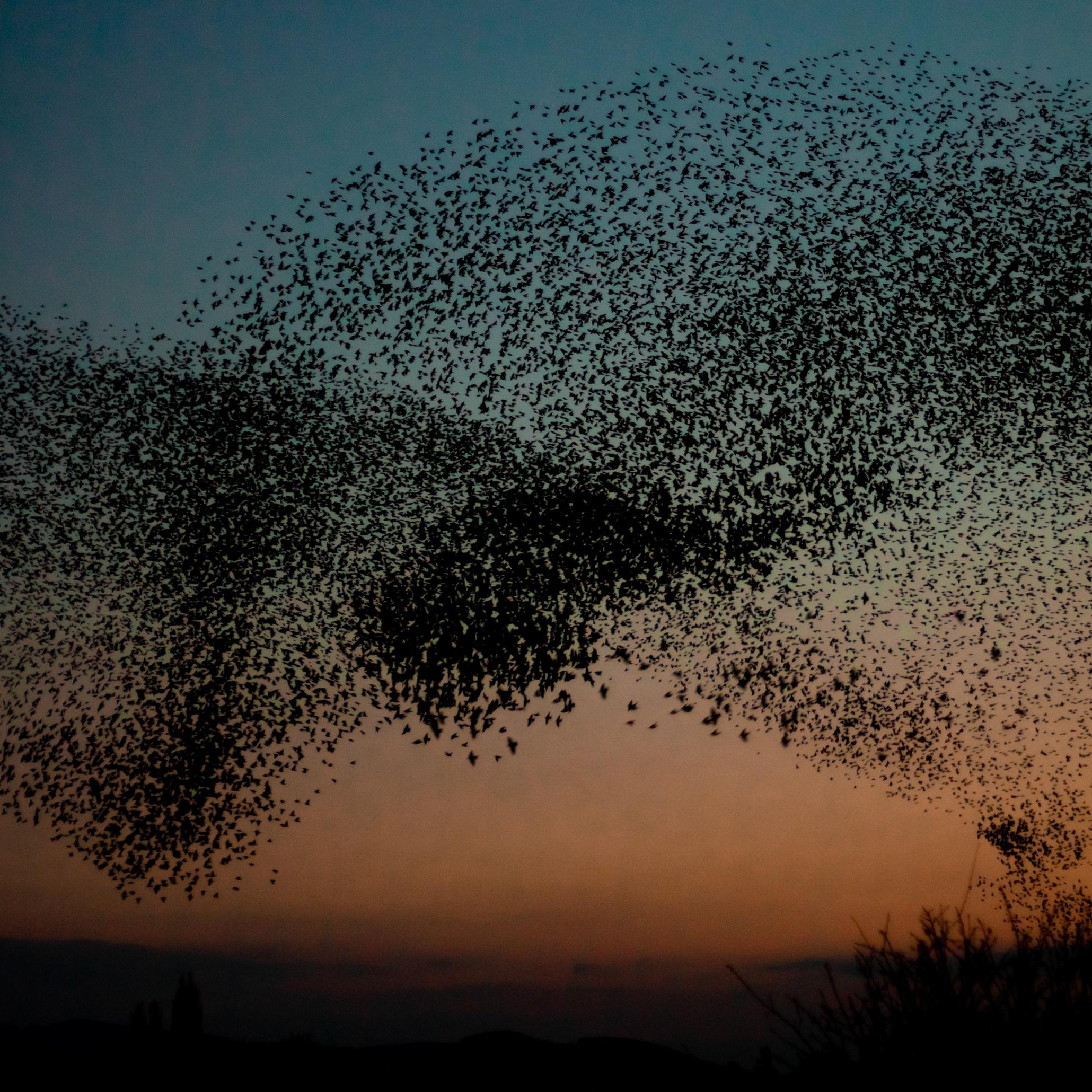 Murmuration: Starling Murmuration Season - In Pictures