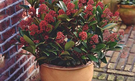 plant of the week skimmia 39 rubella 39. Black Bedroom Furniture Sets. Home Design Ideas
