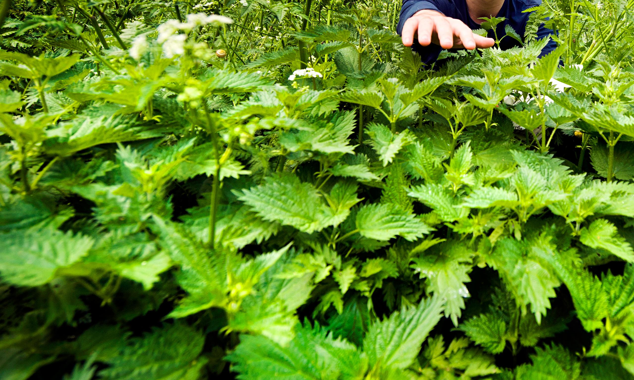 Stinging nettle pesto: the recipe | Life and style | The Guardian