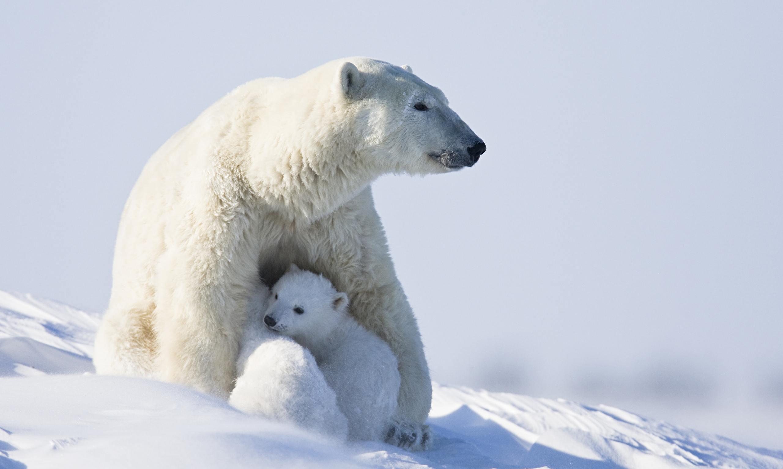 Polar bear with cubs - photo#13